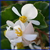 White flowers of wax begonia