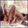 A small furry brown bat with comically large ears