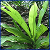 Birds nest fern with long strappy green leaves