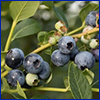 Blueberries on the plant