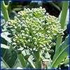Green broccoli floret
