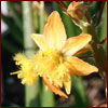 Yellow flower of bulbine