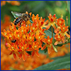 Orange cluster of flowers with a bee
