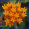 Bright orange cluster of tiny butterflyweed flowers