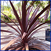 The maroon strappy leaves of a red star dracaena