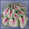 A caladium plant with greenish-white leaves with hot pink veins.