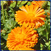 Two bright orange flowers with many daisy like petals
