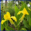 Two yellow canna flowers