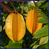 Carambola hanging in tree, photo by Ian Maguire, UF/IFAS - all rights reserved
