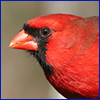 A bright red bird