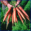 Carrots photo courtesy of US Department of Agriculture