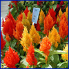 Yellow and orange spikes of celosia