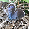 A very small blue butterfly resting on hay