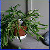 Potted and not yet blooming Christmas cactus