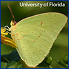 A male cloudless sulpher butterfly with creamy yellow wings; photo by Marc Minno, UF
