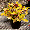 Yellow and red-leafed coleus in a pot
