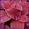 Coleus plant with deep red leaves, photo by Tyler Jones, UF/IFAS
