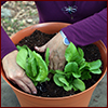 Hands planting baby lettuce in container
