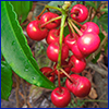 Cluster of small red berry-like fruit