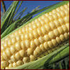 An ear of sweet corn