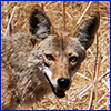 The face of coyote looking directly at the camera. USDA photo by Lance Cheung