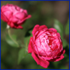 Dark pink rose with many tightly packed petals