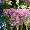 Pink crapemyrtle flowers