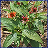 Leafy green coneflower plant with spindly orange and pink daisylike flowers