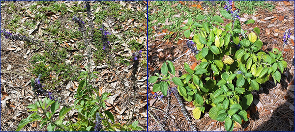 On the left a poor photo of a leggy salvia plant that's practically indistinguishable from the grassy background and on the left a fuller leafy green salvia plant with shorter purple flower spikes