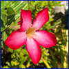 Bright pink trumpet shaped flower