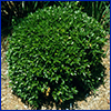 A small round shrub with tiny green leaves