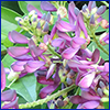 Purple evergreen wisteria flowers