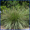 Large turft of tall green ornamental grass