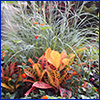 Orange croton plant backed by feathery ornamental grass