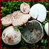several examples of false parasol mushrooms
