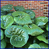 Huge shiny green leaves that resemble lily pads of a farfugium plant