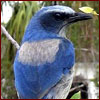 Native Florida scrub jay bird
