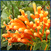 Orange flame vine flowers