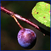 Tiny dark purple plum of the flatwoods plum tree