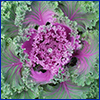 The purple center leaves of ornamental kale