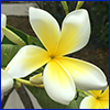 Creamy white and yellow pinwheel shaped frangipani flower; photo courtesy of Jennifer Sykes