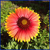 Orange daisy like flower with yellow tipped petals and a dark red center