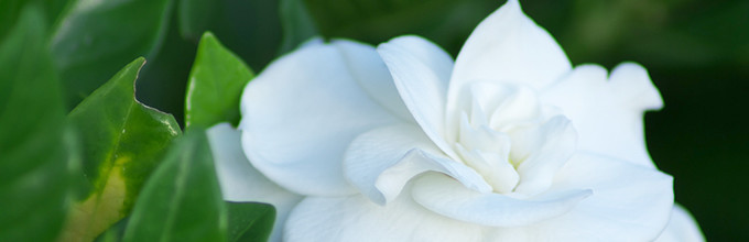 Close view of white gardenia flower and a few of its dark green leaves