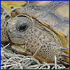 Close view of a little gopher tortoise's face, front legs, and some shell. USDA photo.