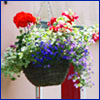 Colorful annuals in a hanging basket