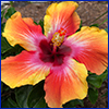 A hibiscus flower with ombre like color starting deep maroon in the center and lightening to orange and then yellow at the petal edges