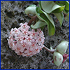 A round cluster of tiny pink flowers with dark pink centers at the end of a long stem covered in waxy round leaves