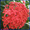 Red-orange flowers of ixora