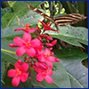 Red flowers of jatropha with a black and yellow butterfly