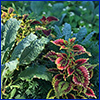 Green edible kale and colorful ornamental coleus
